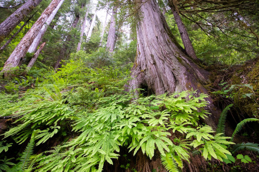 Maidenhair ferns, redcedars, and Douglas-firs adorn the steep slopes of the Taylor River.