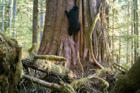 Black bear climbing old-growth redcedar tree in Eden Grove.