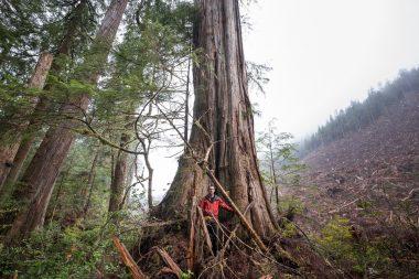 Old-growth logging in 2017 - Edinburgh Mt